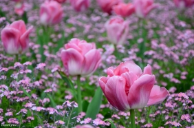 Tulips in Zagreb