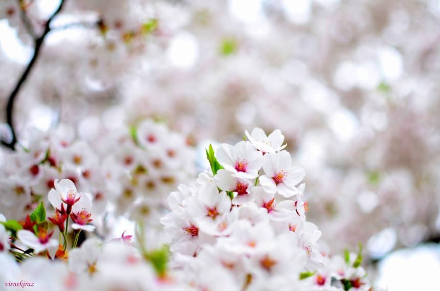 Sakura, Kakunodate/Japonya