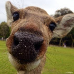 Ulu geyik, Nara Parkı, Nara