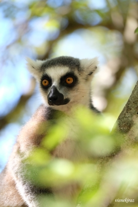 Ring tailed lemur aka King Julien