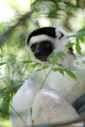 White sifaka in Isalo